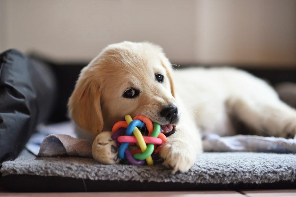 Puppy zindelijk maken met kauwspeelgoed
