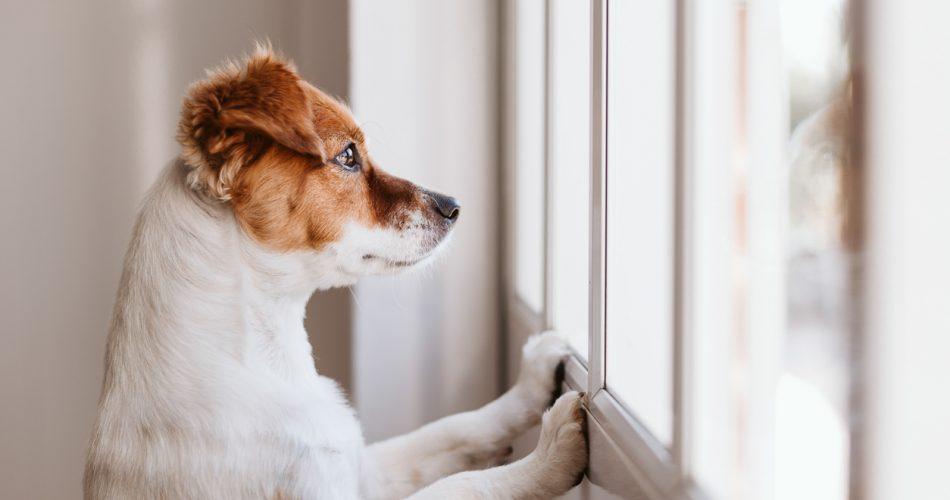Verlatingsangst symptomen hond herkennen