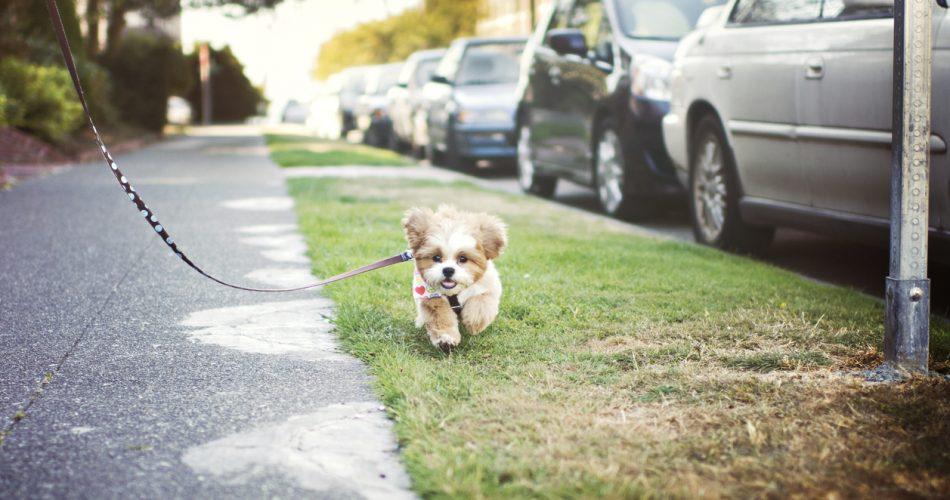 Hoe lang mag een pup lopen aan de riem